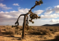 UltimateGraveyard Mojave Desert Joshua trees