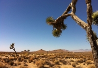 UltimateGraveyard Mojave Desert Joshua trees with Mountain views