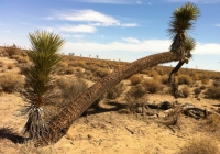 UltimateGraveyard Mojave Desert Leaning Joshua trees